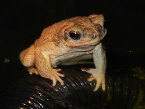 One of our happy red-spotted toads.